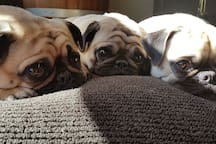 Cricket, Penny and Ellie are our trio of pugs who live upstairs with us. They are very good girls and love visitors.  If you are booking with us, I hope you love dogs as much as we do.
