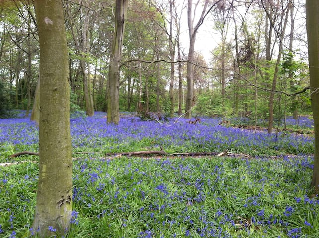 Bluebells in Wanstead Park - lunch at The Cuckfield on Wanstead High Street afterwards?