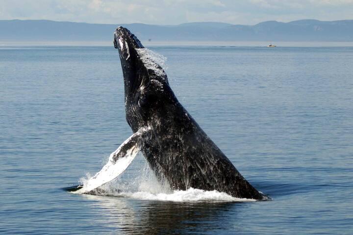 Ne manquez pas les baleines...Excursion en zodiac ou bateau.