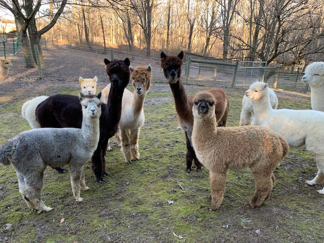 Amazing alpaca retreat