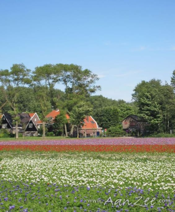 Flower fields in front of the house (with house in te middle)