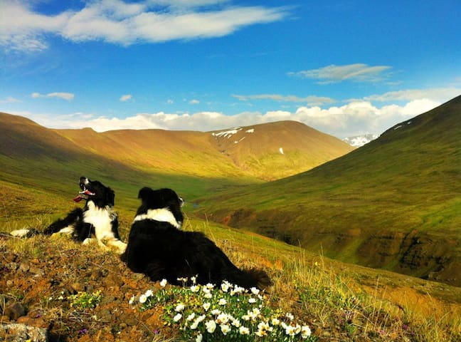 Border Collies licking the sun at the backyard -Geldingadalur valley