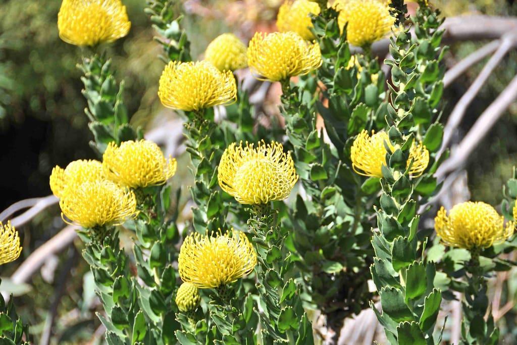 Banksia's in full bloom front garden