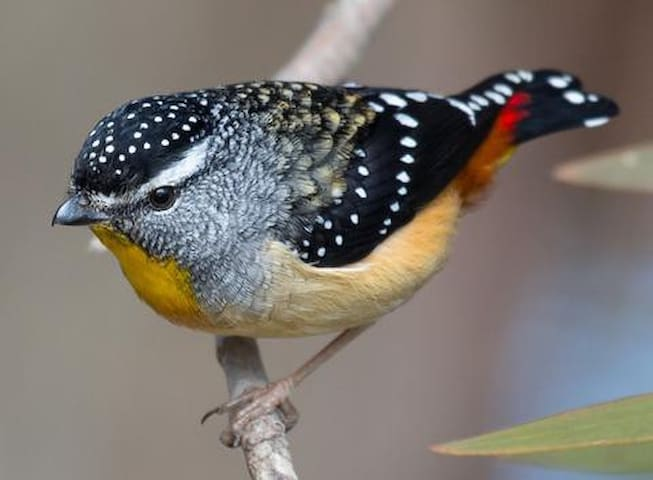 Spotted pardalote inhabitant