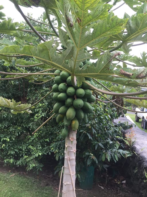 Papayas are grown here!