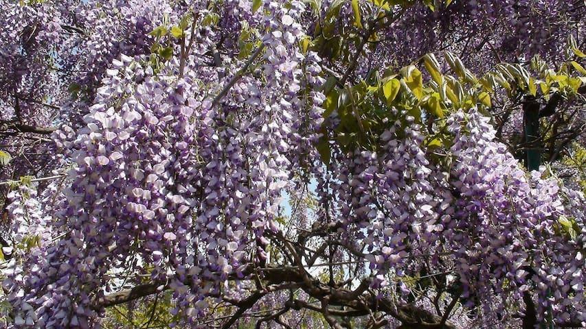 Wisteria flower in Yamashinden  May   5月に見ごろを迎える山新田の藤棚