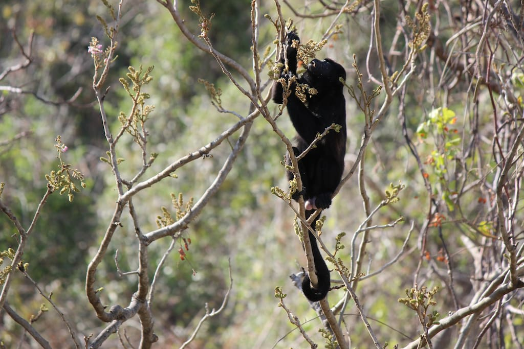 Howler Monkeys at Jungles Edge