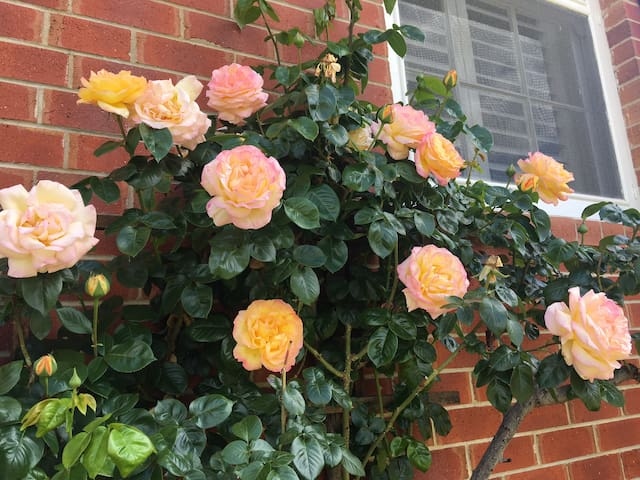 The first roses of the season now on display in the front garden