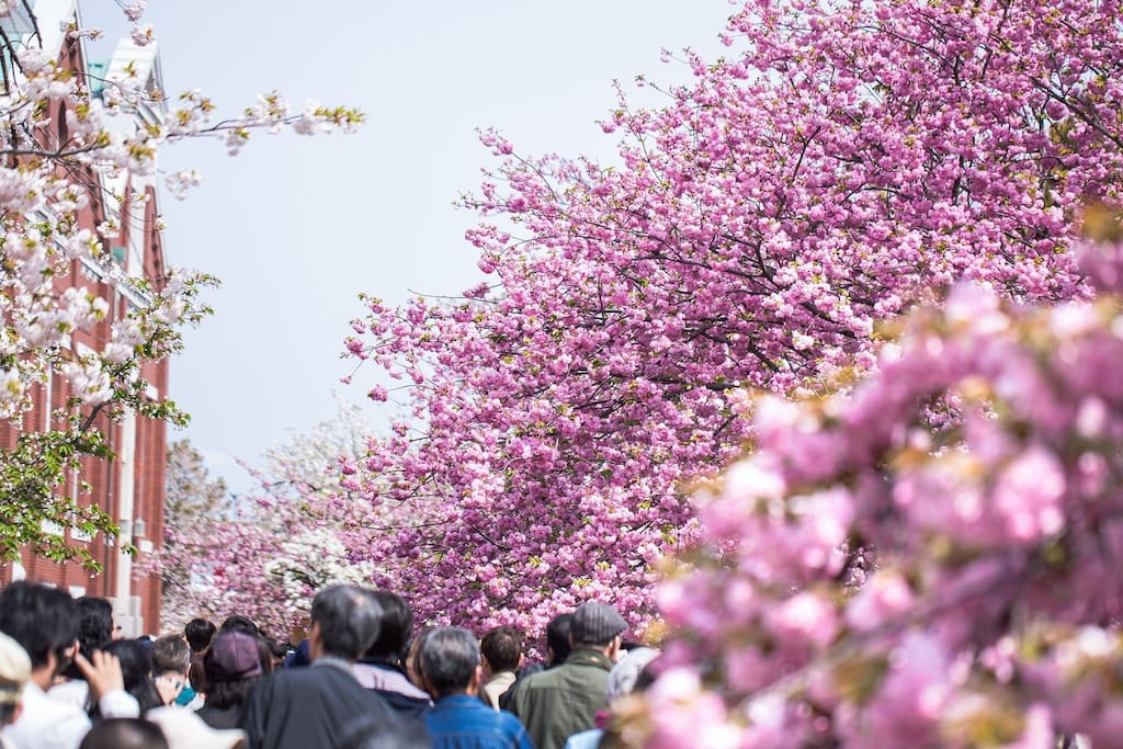 Mint museum Cherry blossoms passed through Late March to the beginning of April/造幣局 桜通り抜け 3月下旬から4月上旬が見頃