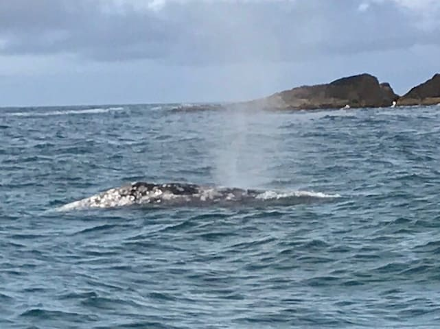 Gray Whale in Depoe Bay! Oregon's Whale Watching Hot Spot from March - September!