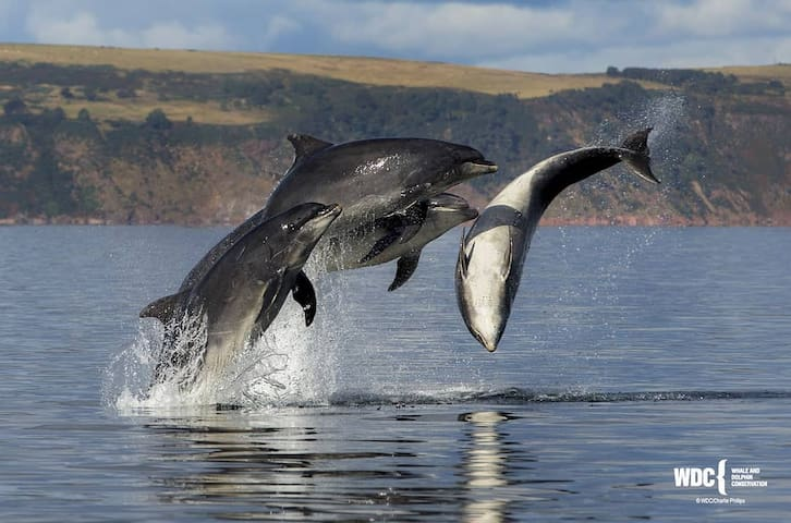 Dolphins to see at Chanonry Point  Credit:Charlie Phillips