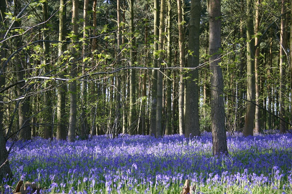 A sight and scent to behold! The Lickey Hills Bluebells - late April and May - well worth a visit and just a short walk away from The Upper Mews!