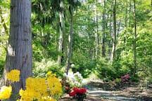 A short pathway through the Rhododendron garden.