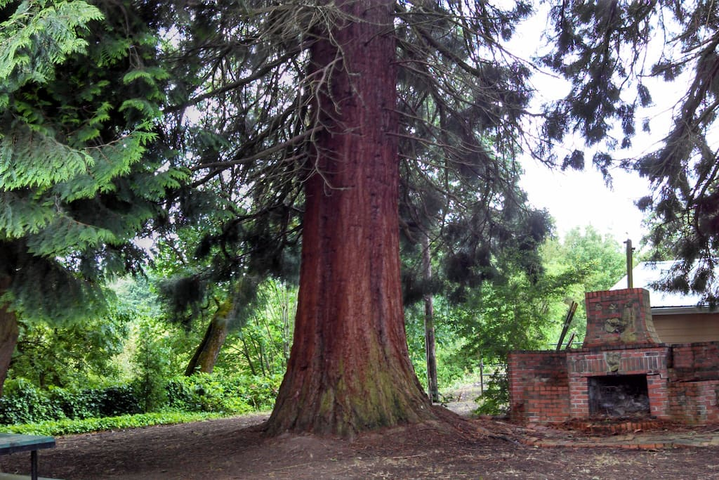Five towering Sequoia Redwoods with vintage fireplace outdoor retreat.