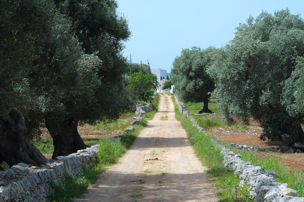 Road leading to the masseria is lined with centuries-old olive trees