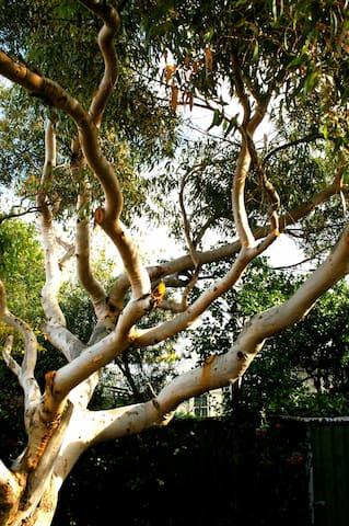 magnificent big gum tree in back garden