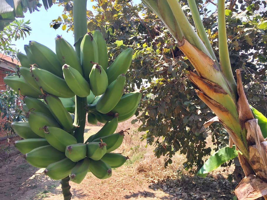 Bananas growing in our garden. They might be ripe when you arrive!