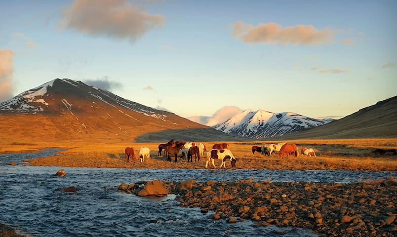 By the river that runs through Kolsstaðir land; Tunguá. Horses feed on the spring grass in april :-)