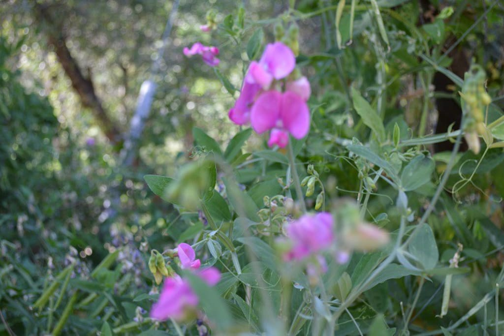 Country Road includes wild sweet peas growing in the shade of the oaks that line the lane.