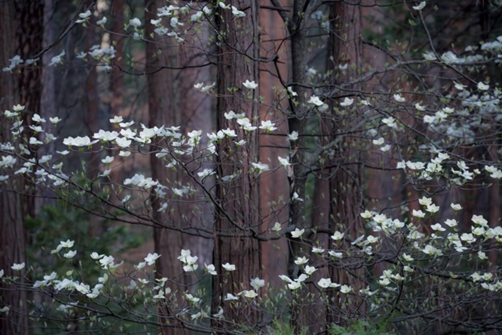 Spring time dogwoods !!
