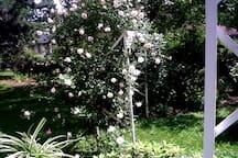 Back yard rose arbor in full bloom.