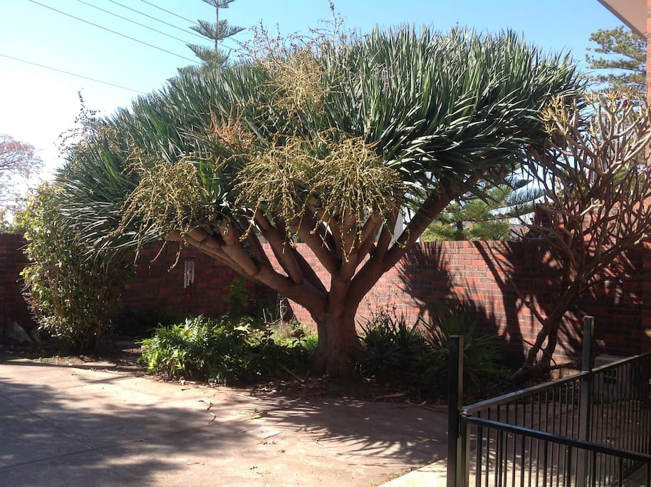 Front Yard 40 Year old Dragon Tree