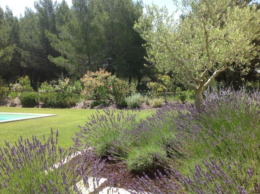 Le jardin avec son olivier et ses lavandes