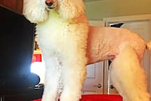 Mitzi, your Standard Poodle Co-Host