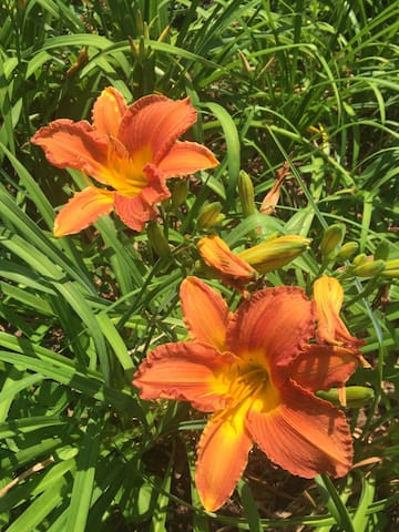 Large variety of different summer day lilies.