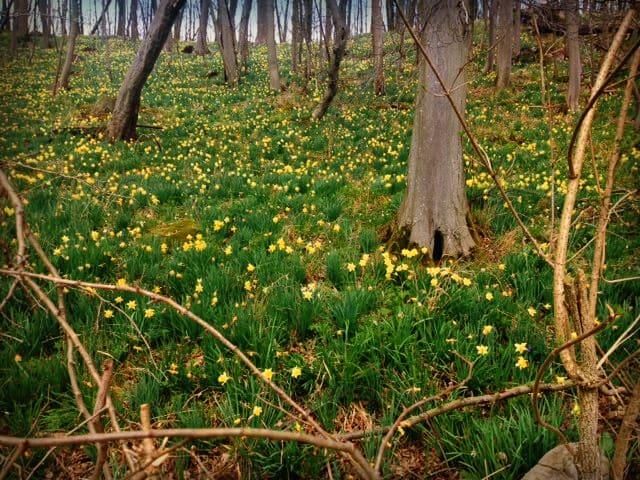 Wald im Naturschutzgebiet zur Narzissenblüte im Frühling