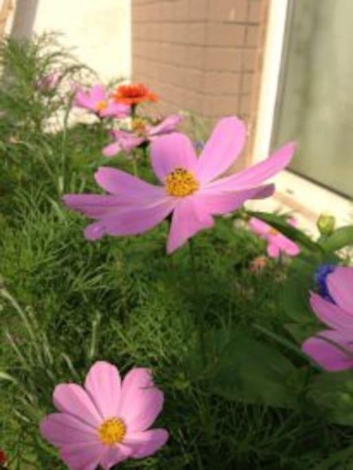 窗台上的波斯菊,自己种的(这是去年种的,今年我没在家住,窗台上的花今年没有了)。
