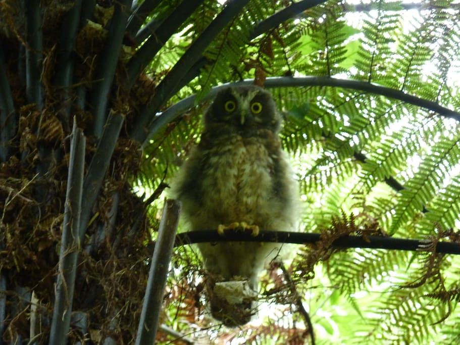 Mike the Morepork sitting in one of our Pungas (tree ferns)