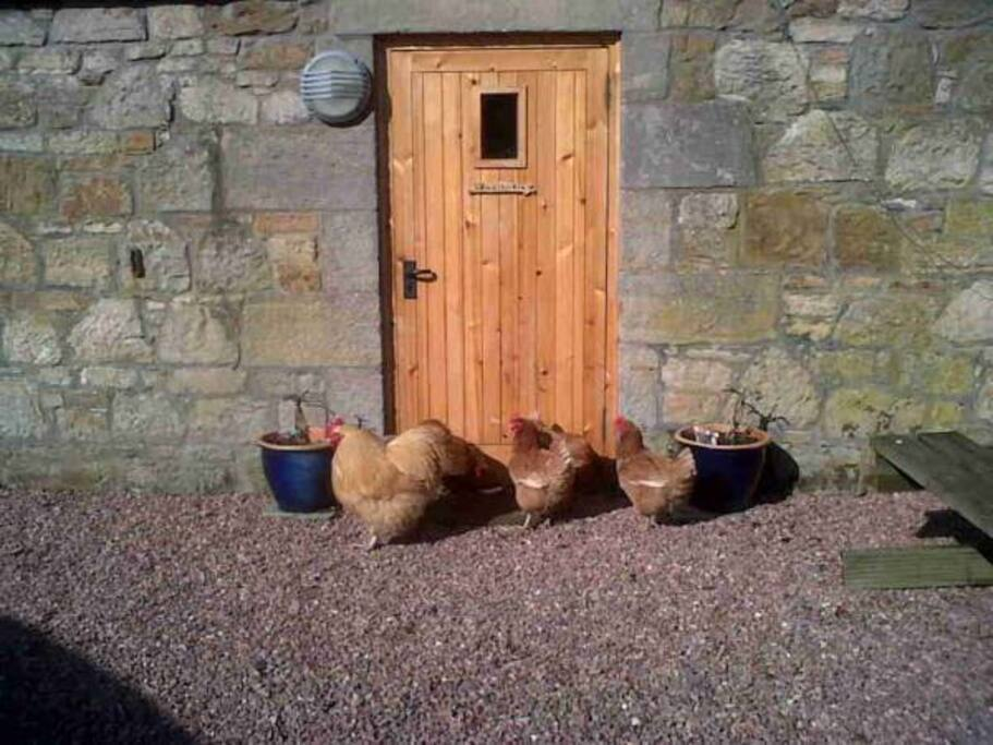 Why did the chickens cross the....?