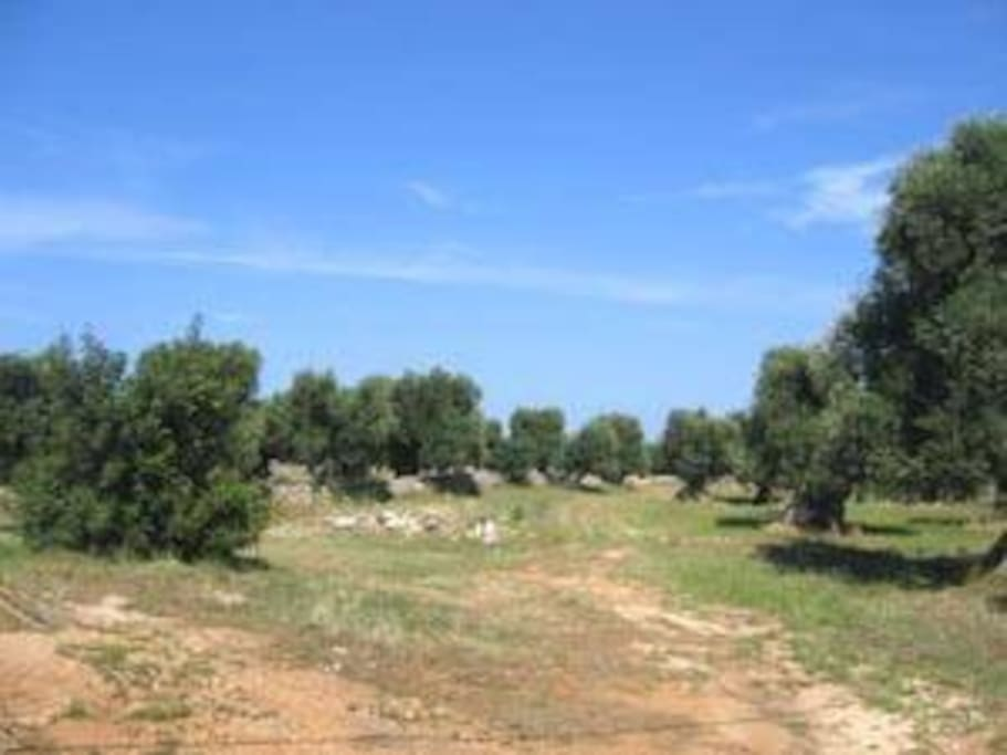 Silence and olive trees