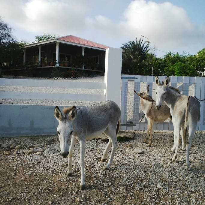 Wild donkeys in front of the house