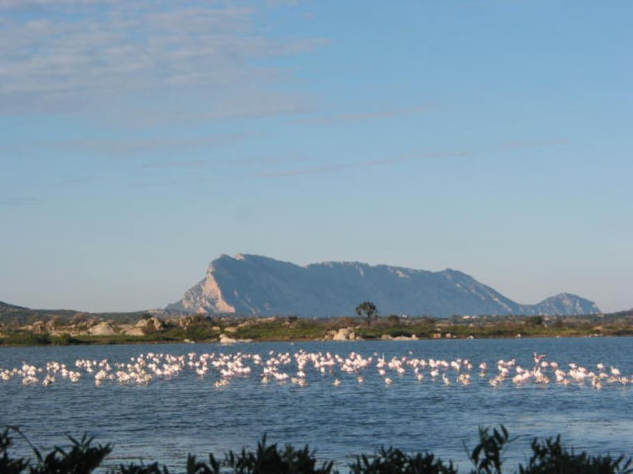 flamingos birds in a pond in front of Tavolara Island