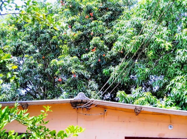 Mango Trees/Arboles de Mango