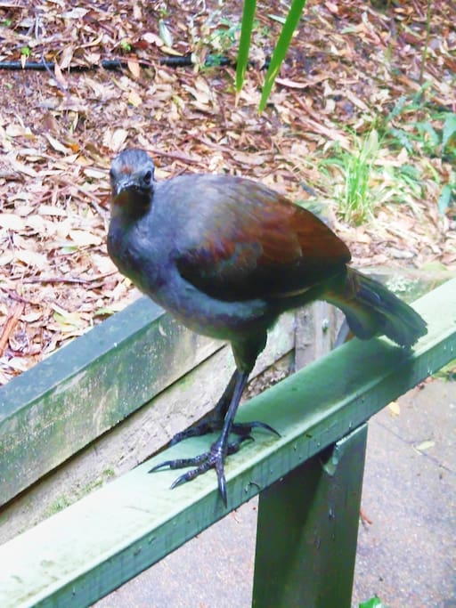Our friendly lyrebird visits us and fossicks in the back garden.