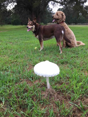 Chilli & Murphy enjoying their morning play - pretty mushies popping up after a trickle of rain
