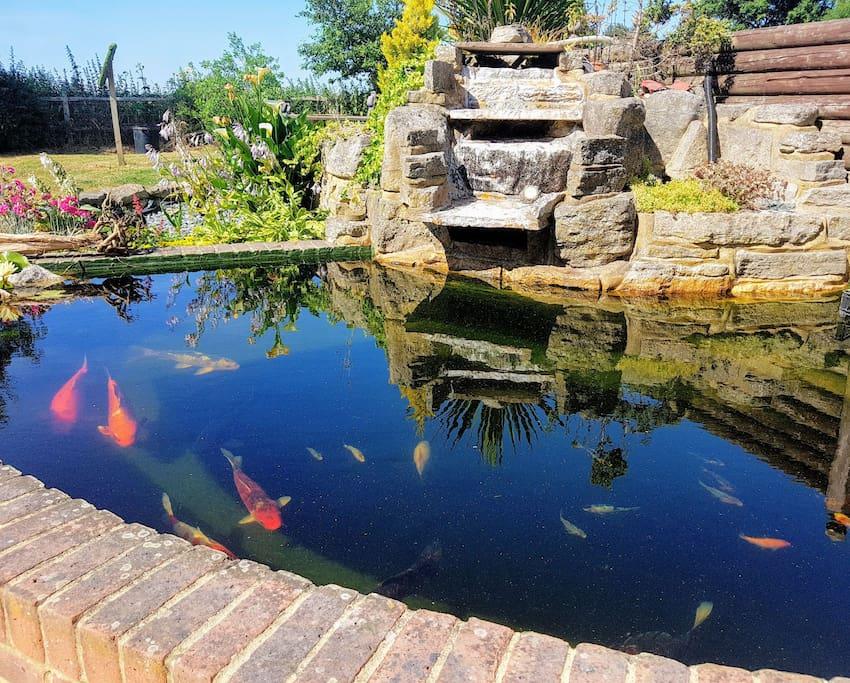 Enjoy our beautiful koi carp