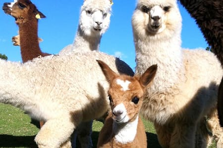 Mountview Alpaca Farmstay - Sarabah