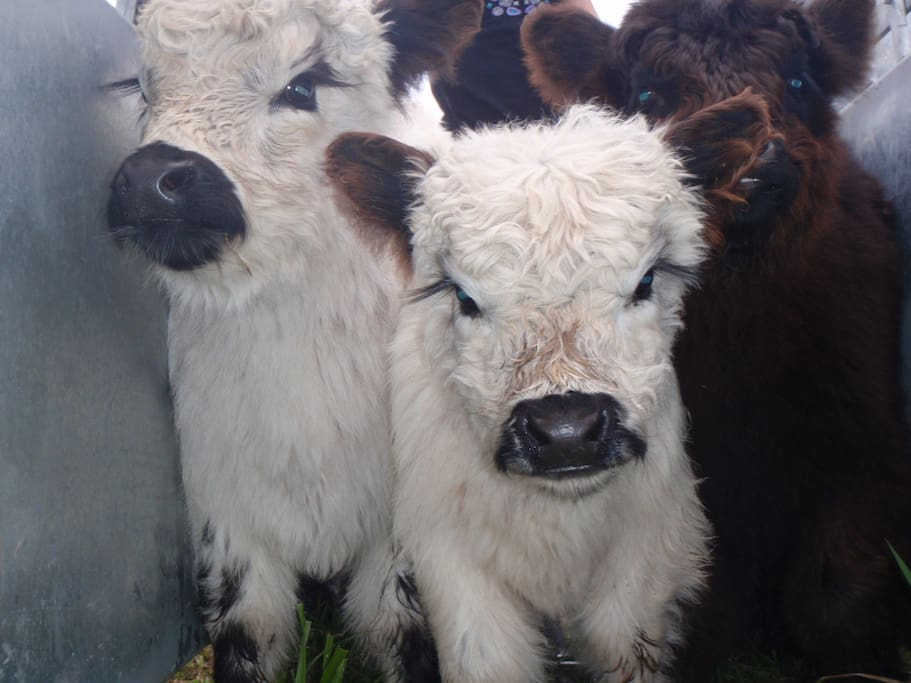 Did we mention the adorable miniature cows?