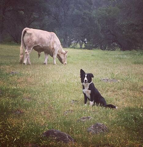 Our lovable border collie, Sadie, keeping a watchful eye on our cattle.