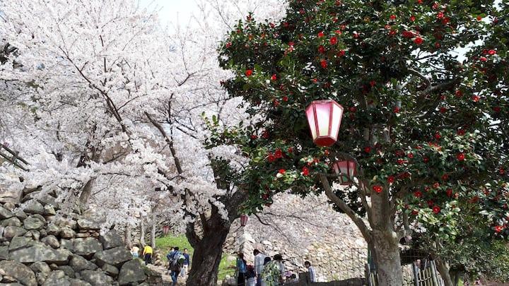 chery and Camellia blossom in Kyuhsyo