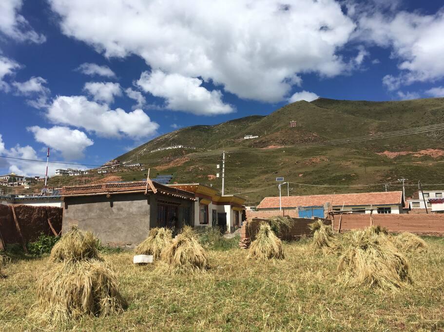 住家後面的青稞田,還種了白菜、芫根、土豆;還有古早的夯土牆。