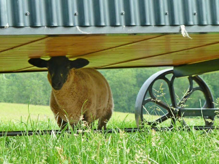 A lamb under the shepherd's hut