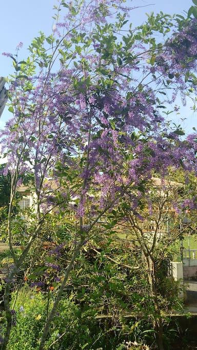 Petrea in bloom