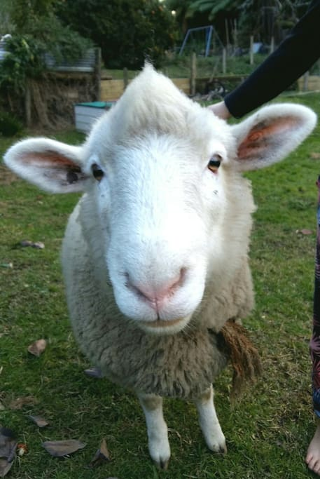 Steve the sheep