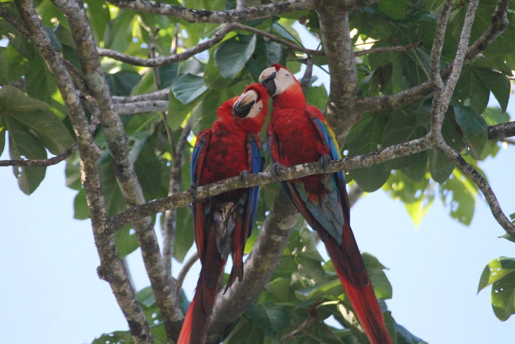 Scarlet Macaws nesting in the almond trees in the front yard.... aka Love Birds!
