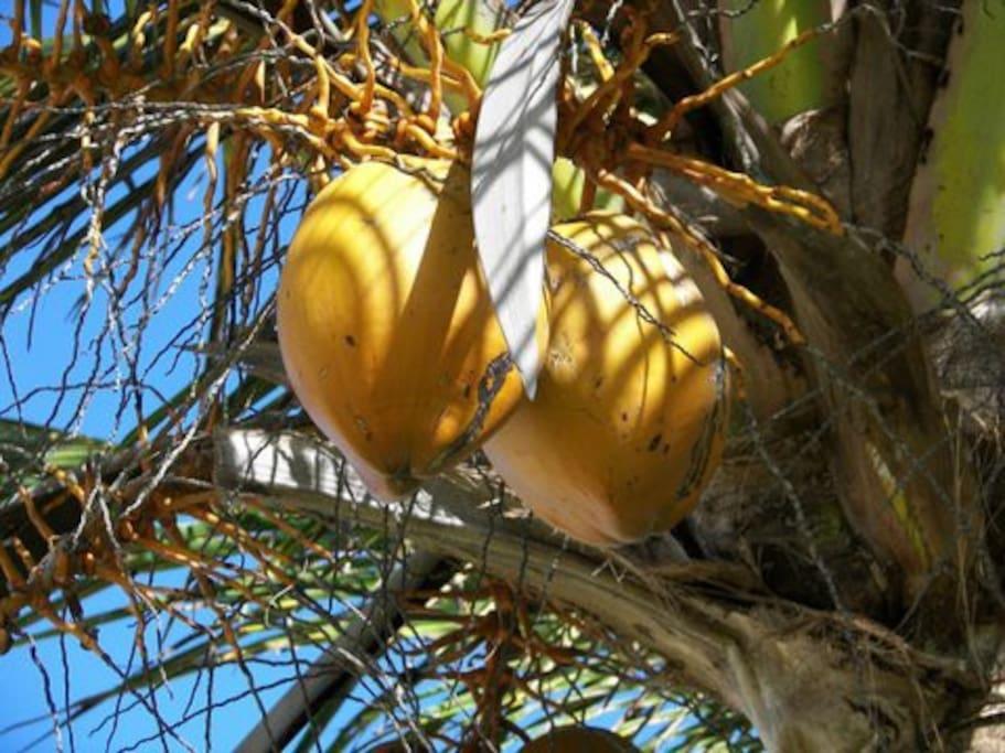 Hawaiian coconuts
